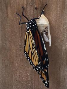 Papillon à peine sorti de la chrysalide.